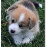 Pembroke Pup